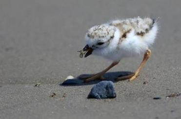 A piping plover chick enjoyed feeding at Revere Beach.